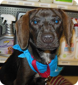 Beagle/Labrador Retriever Mix Puppy for adoption in Phoenix, Arizona - Zoey