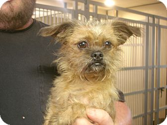 Shih Tzu/Yorkie, Yorkshire Terrier Mix Dog for adoption in baltimore, Maryland - Lil Bit