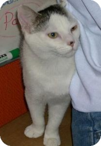 Domestic Shorthair Cat for adoption in Alamo, California - Elliot