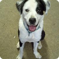 Adopt A Pet :: Scooby Lou - Lebanon, CT