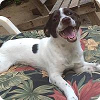 Adopt A Pet :: Louie - North Brunswick, NJ