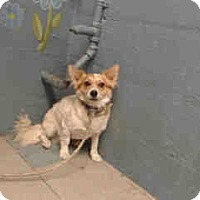 Adopt A Pet :: Laddy - Simi Valley, CA