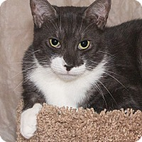 Domestic Shorthair Cat for adoption in Elmwood Park, New Jersey - Abigail
