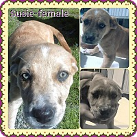 Adopt A Pet :: Susie meet me 4/1 - Manchester, CT