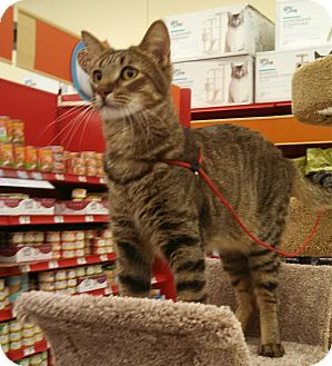 Abyssinian Cat for adoption in Scottsdale, Arizona - Rusty - not purebred