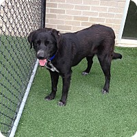 Labrador Retriever Mix Dog for adoption in McKinney, Texas - Romeo - Courtesy Listing
