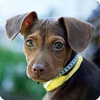 Adopt A Pet :: Nico - Sudbury, MA