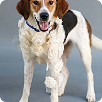 Treeing Walker Coonhound/Hound (Unknown Type) Mix Dog for adoption in Marietta, Georgia - Toni