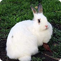 Angora, English Mix for adoption in Tustin, California - Peach