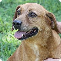 Adopt A Pet :: Sparkey - Joplin, MO