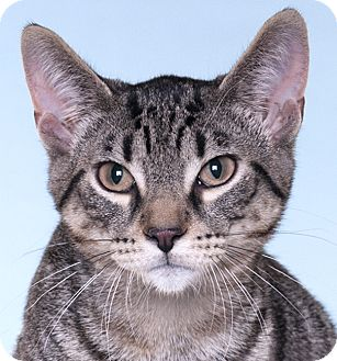 Domestic Shorthair Kitten for adoption in Chicago, Illinois - Squirt