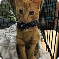 Adopt A Pet :: Klive - Santa Ana, CA