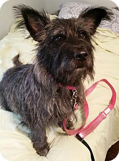 Cairn Terrier Mix Dog for adoption in Alpharetta, Georgia - Frasca