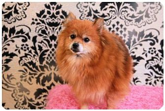 Pomeranian Dog for adoption in Dallas, Texas - Trinity