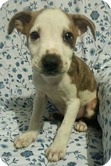 Labrador Retriever/Boxer Mix Puppy for adoption in Pompton Lakes, New Jersey - Spider