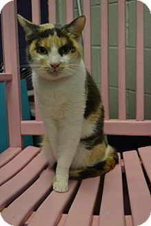 Domestic Shorthair Cat for adoption in Akron, Ohio - Marley