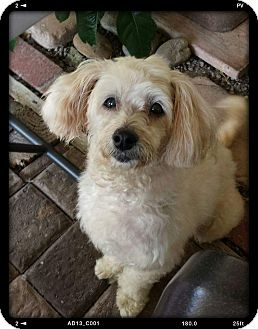 Maltese/Poodle (Toy or Tea Cup) Mix Dog for adoption in San Diego, California - Sunkist