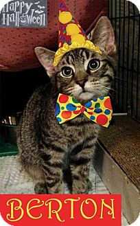 Domestic Shorthair Kitten for adoption in East Brunswick, New Jersey - Berton