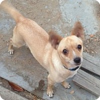 Chihuahua Mix Dog for adoption in Fresno, California - Scout