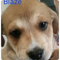 Adopt A Pet :: Blaze - Allen, TX
