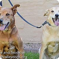Labrador Retriever/Shepherd (Unknown Type) Mix Dog for adoption in Gilbert, Arizona - Brooklyn & Prince