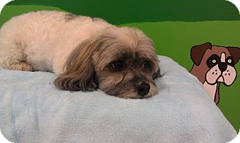 Havanese Dog for adoption in New Windsor, New York - Bruno
