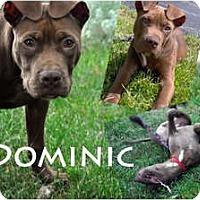 Adopt A Pet :: Dominic - Toledo, OH