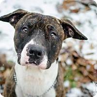 Pointer Dog for adoption in Dublin, Ohio - Chai (Buckeye)
