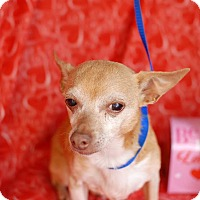 Chihuahua Mix Dog for adoption in San Antonio, Texas - Felix