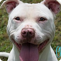 Pit Bull Terrier Dog for adoption in Livingston, Louisiana - Champ