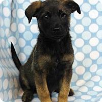 Adopt A Pet :: ADAM - Westminster, CO