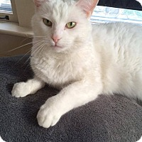 Adopt A Pet :: Daenerys - THORNHILL, ON