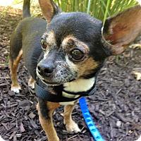Adopt A Pet :: Chico - Fennville, MI