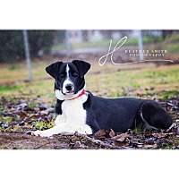 Border Collie Mix Dog for adoption in Corning, California - CAP
