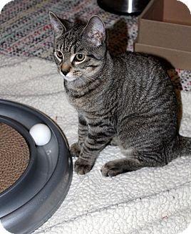 Domestic Shorthair Kitten for adoption in Millersville, Maryland - Ellie