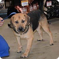 German Shepherd Dog/Beagle Mix Dog for adoption in Hopkinsville, Kentucky - Lou