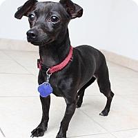 Dachshund/Chihuahua Mix Dog for adoption in Edina, Minnesota - Missy  D161471