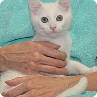 Domestic Shorthair Kitten for adoption in Reston, Virginia - Berkeley