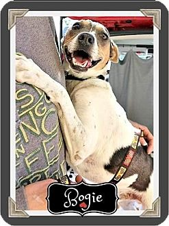 Rat Terrier/Beagle Mix Dog for adoption in Arlington, Texas - Bogie