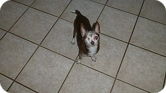 Chihuahua Dog for adoption in Wyanet, Illinois - Pirate Pete