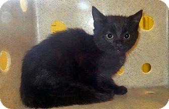 Domestic Shorthair Kitten for adoption in Wildomar, California - 322580