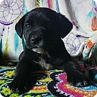 Adopt A Pet :: Meesa - Nashua, NH
