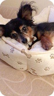 Dachshund Dog for adoption in Weston, Florida - Gemini