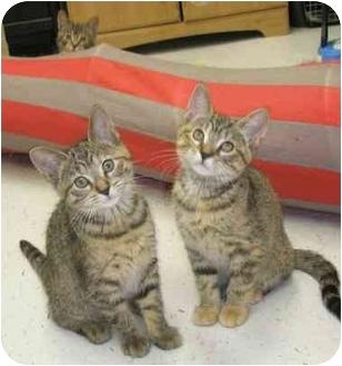 Domestic Shorthair Kitten for adoption in Windsor, Ontario - Poppy