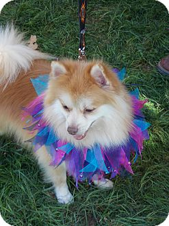 Pomeranian Dog for adoption in Hesperus, Colorado - LEO