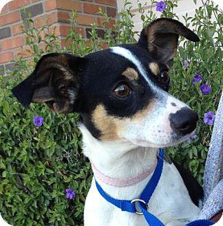 Rat Terrier/Chihuahua Mix Dog for adoption in Phoenix, Arizona - Nina