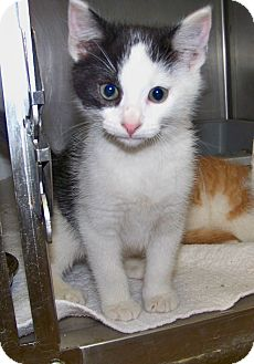 Domestic Shorthair Kitten for adoption in Dover, Ohio - Lonnie