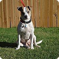 Adopt A Pet :: Stella - Norman, OK