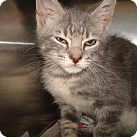 Adopt A Pet :: Wolverine - Miami, FL