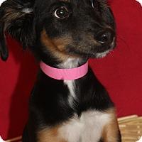Adopt A Pet :: Blossom - Waldorf, MD